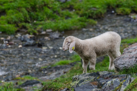 small sheep stands between rocks in nature