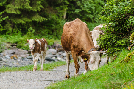 cows walking on the road in the mountains Stock Photo
