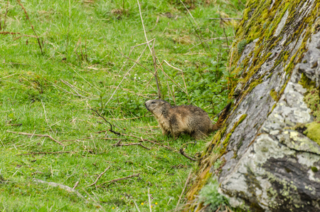 little marmot sitting at a rock in mountain