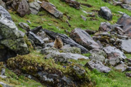 small marmot sitting on rock in mountain