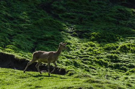 deer running on a green meadow