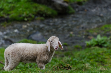 small white sheep in green nature Stock Photo