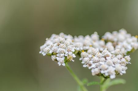 yarrow: fresh yarrow blossoms in summer