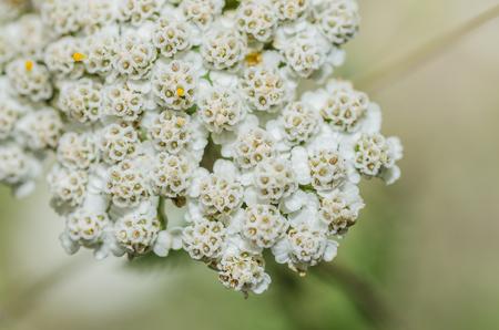 yarrow: fresh yarrow blossom in summer