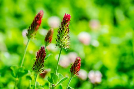 fresh red clover in summer