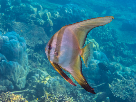 freediving: single butterfly fish swimming closeup