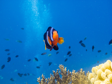 freediving: anemonefish in blue sea looking