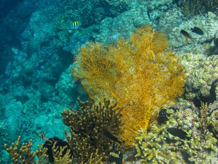 freediving: yellow big coral in the sea
