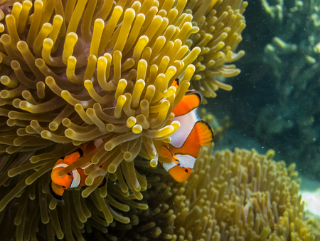 freediving: two small anemone fish hiding