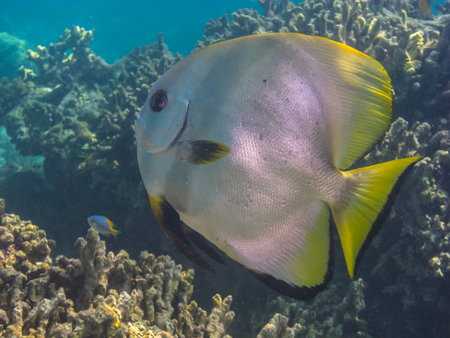 freediving: large butterflyfish in ocean on coral reef Stock Photo