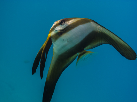 freediving: big butterfly fish in the blue sea