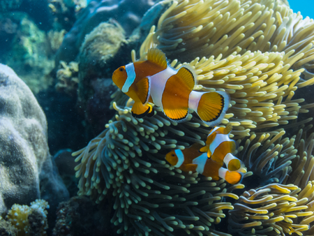 freediving: colorful anemone fish in indonesia