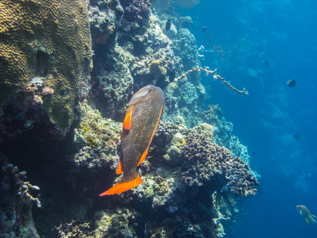 freediving: rudd fish with coral in the sea