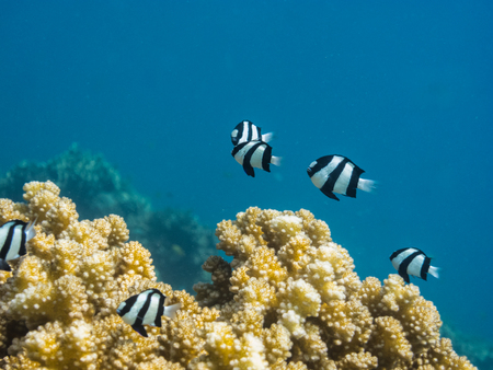 freediving: many damsel fish at coral in the blue sea