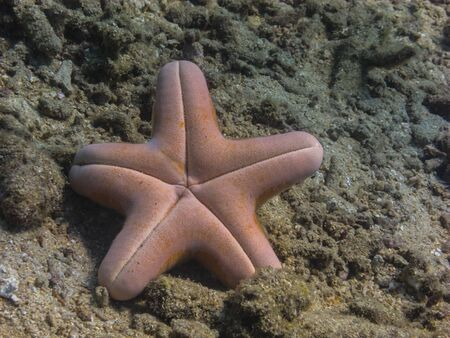 freediving: big sea star on coral is upside down
