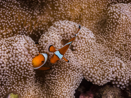 freediving: two anemone fishes in Bali indonesia Stock Photo