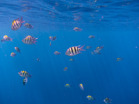 many sergeant fish in the blue sea in indonesia Stock Photo