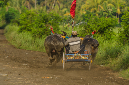 carriage with bulls at race in bali Stock Photo