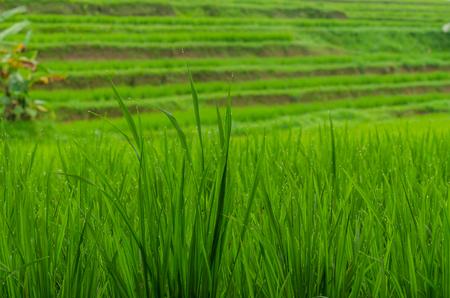 green fresh rice plants detail view