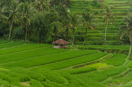 green rice fields and barracks with reed Stock Photo