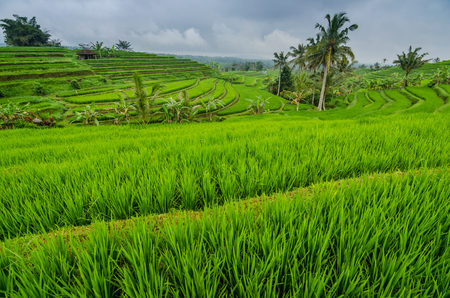 rice field landscape with palm trees in bali