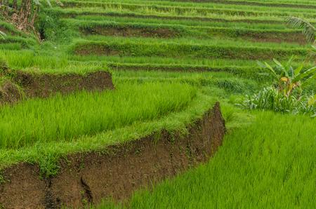 gruene reisfelder mit vielen terrassen Reklamní fotografie