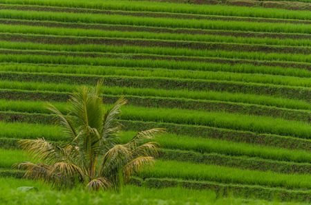 lush green rice field and palm Stock Photo