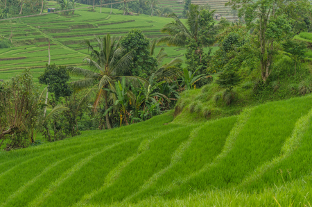 Green lush rice fields and palm trees in bali Stock Photo