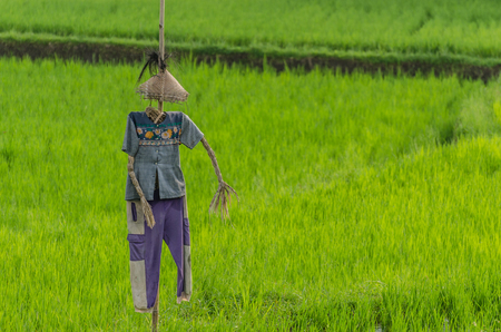 beautiful scarecrow in rice field in indonesia