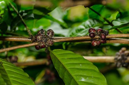 luwak coffee beans on tree in bali indonesia