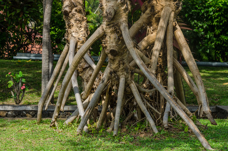 gartenanlage: large air roots of palm in gartenanlage