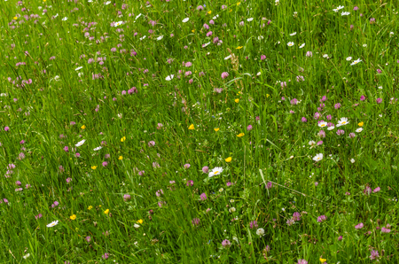 fresh flower meadow in the nature Stock Photo