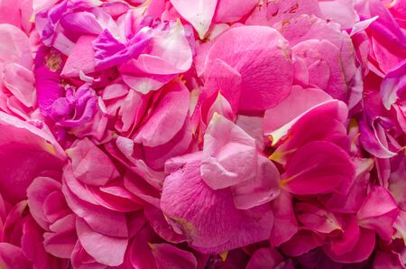 pink rosebuds in summer Stock Photo