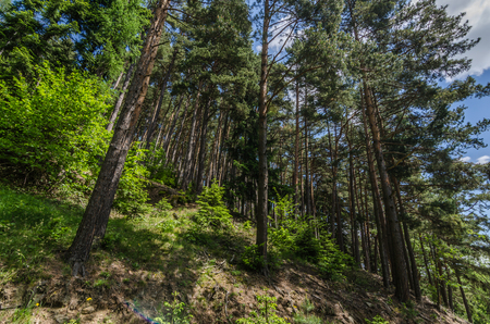 tall trees stand in a steep forest