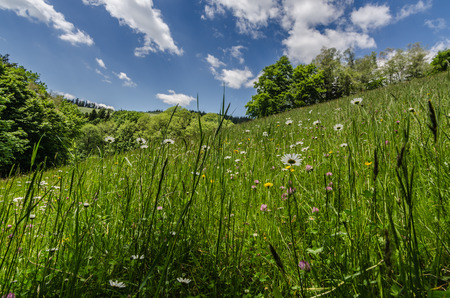 fresh flower meadow in the mountains Stock Photo