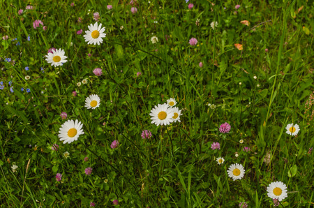 fresh chamomile blooms in the grass