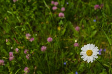 fresh chamomile in the flower meadow