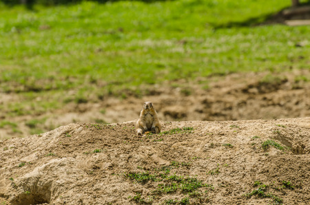 Meerkat sits on a hill in the zoo Banco de Imagens