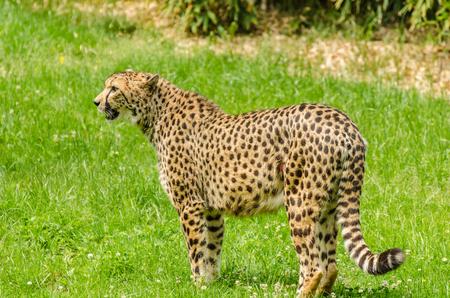Leopard on a meadow in the zoo