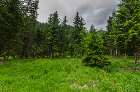 fir trees in nature while hiking
