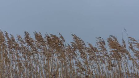 sky and reeds in the wind in winter