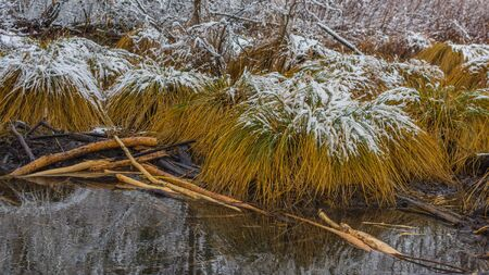 Grass in swamp in winter with snow Banco de Imagens