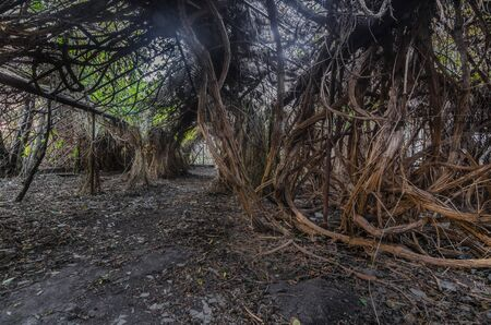 Thick lianas in old greenhouse at the suburban