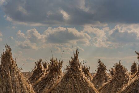 reed bundles peaks with clouds in the lake