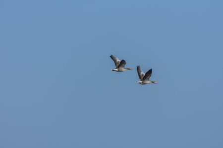 Two wild geese in flight on the sky in spring Stock Photo