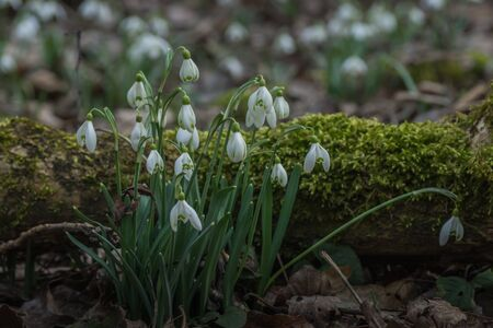 many snowdrops on a place in the forest