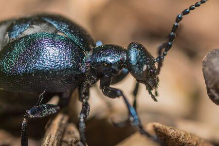 iridescence black beetle oil beetle detail view