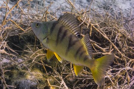 small perch with seagrass in the lake at the bottom