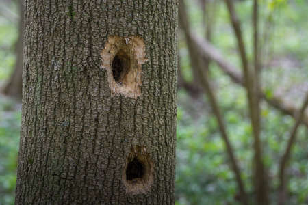 two holes from a woodpecker in a tree trunk in the forest