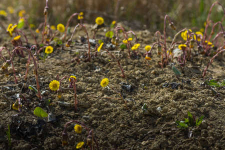 coltsfoot flowers in dry soil from a quarry Archivio Fotografico